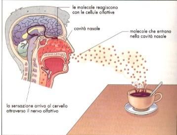 sensi,copro umano,cellule sensoriali